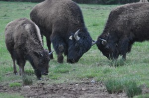 Bison Males