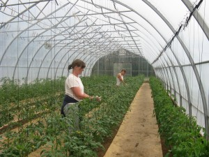 Pattison Farms greenhouse